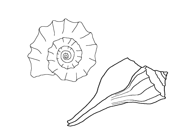 lightning whelk sea shell