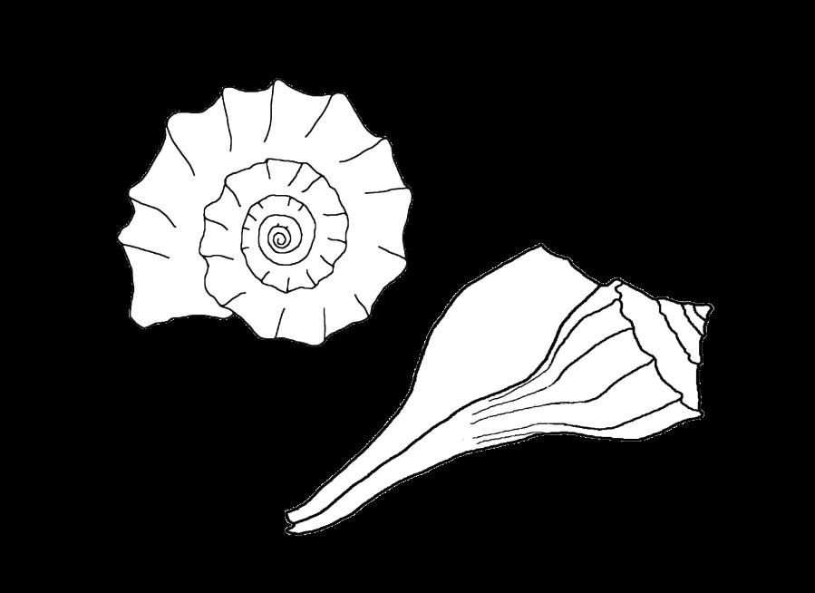 1calendar Whelk Seashells By Millhill