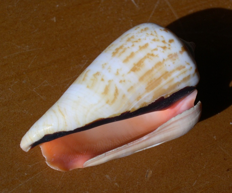 Strawberry Conch