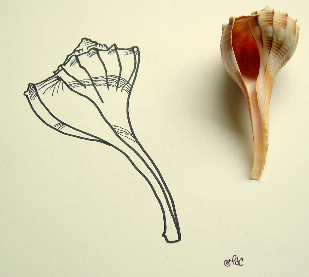 Lightning Whelk