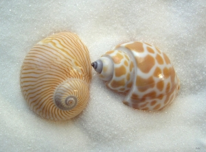 two little shells
