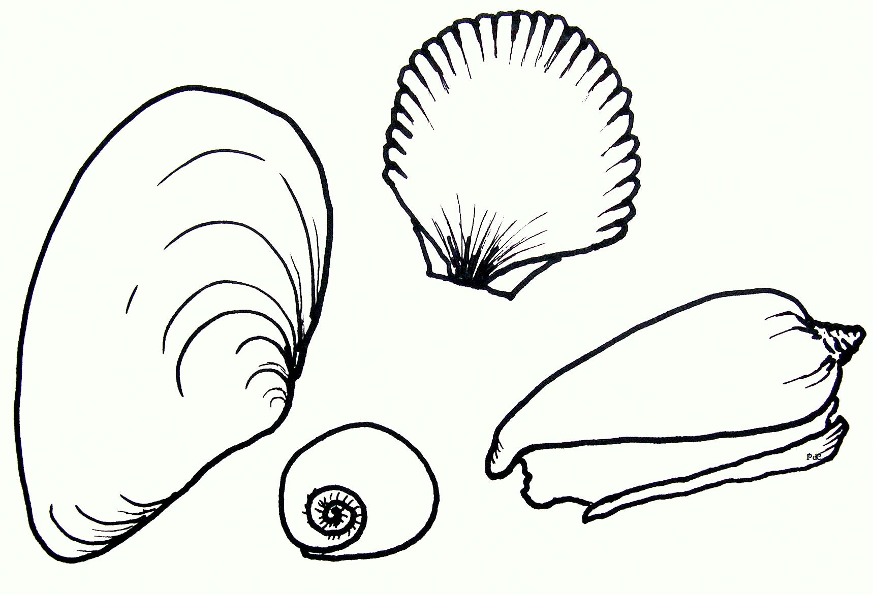 Artwork Seashells Drawing PDC