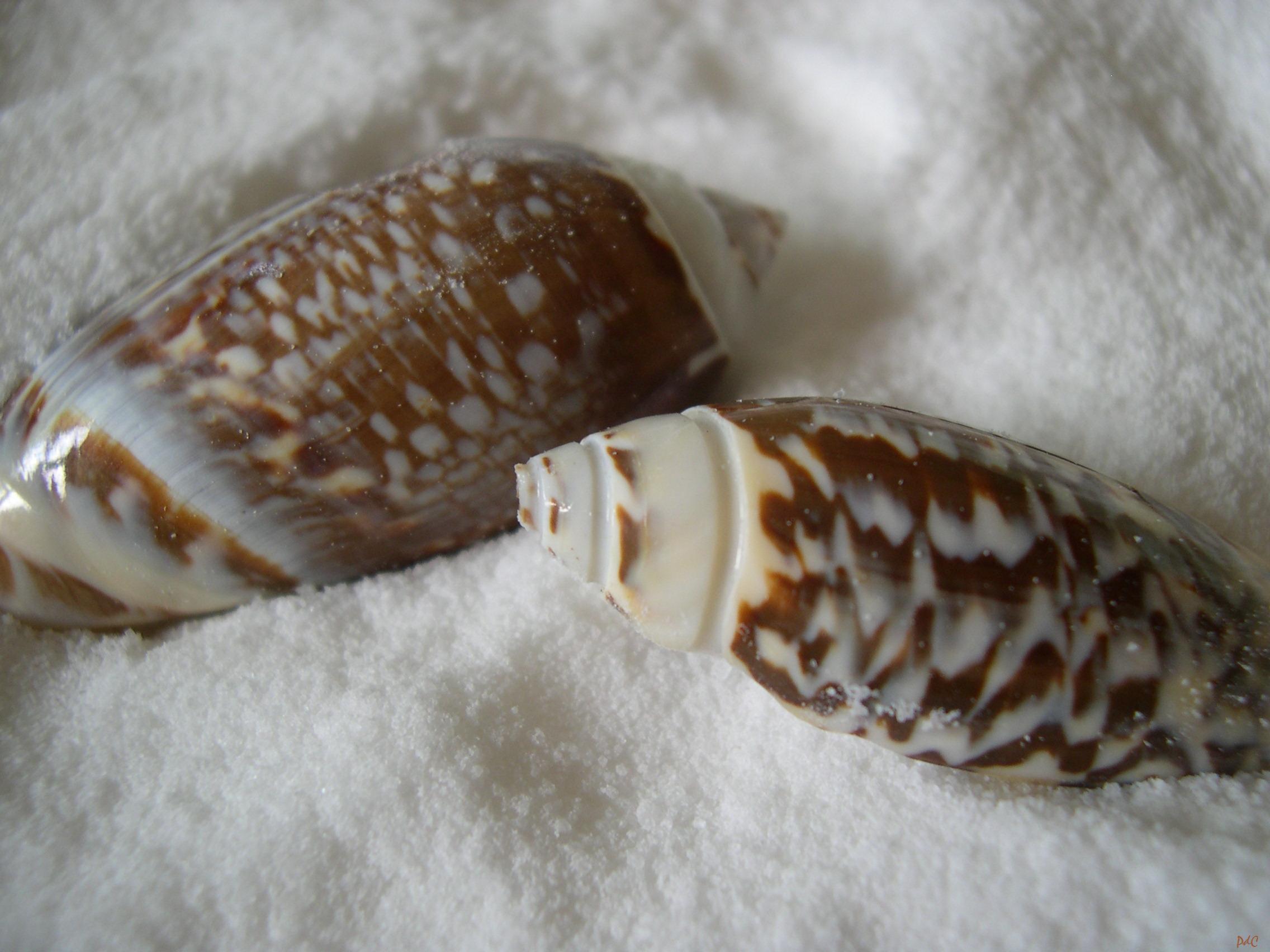 lettered olive shell. Gibbose or Gibbosa Olive