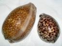 Cowry Shells