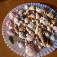 Seashells That Are Pink