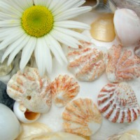 The Cute and Colorful Kittenpaw Seashell