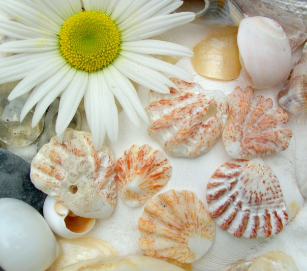 kitten paw seashells