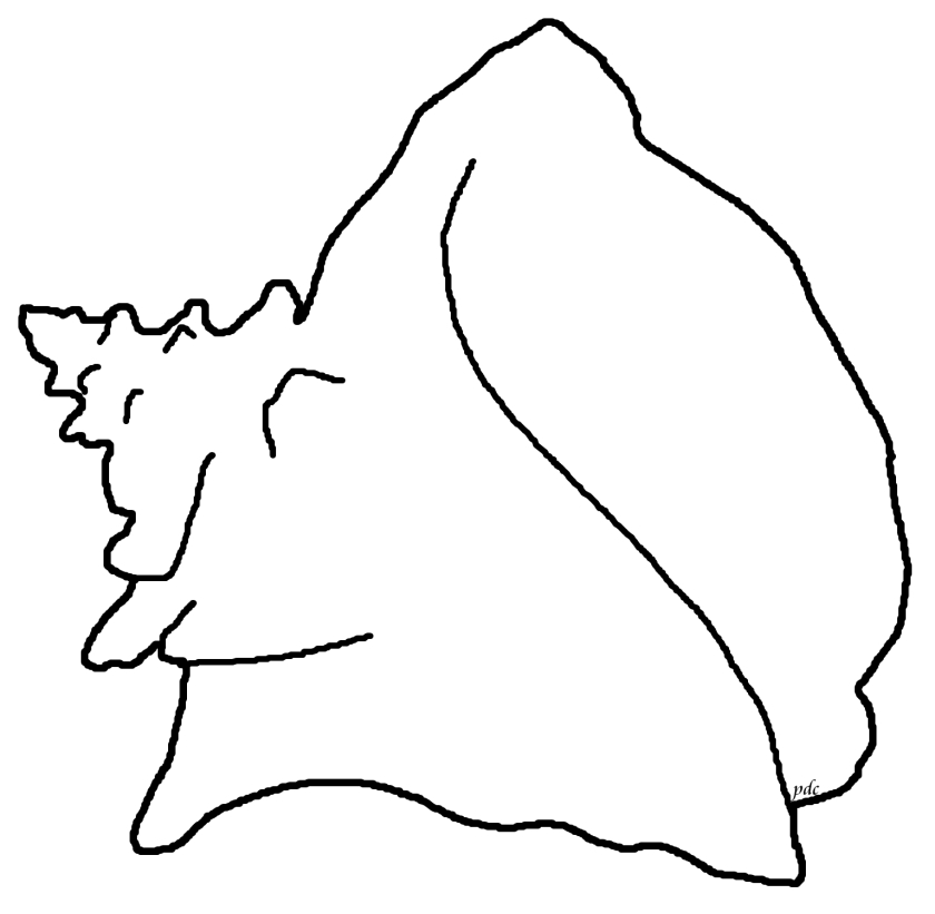 queen or pink conch coloring page  seashellsmillhill