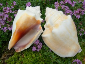 Florida Fighting Conch