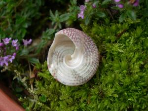 Bottom of a Trocus Shell