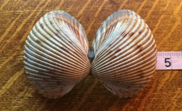 atlantic giant cockle shell bivalve