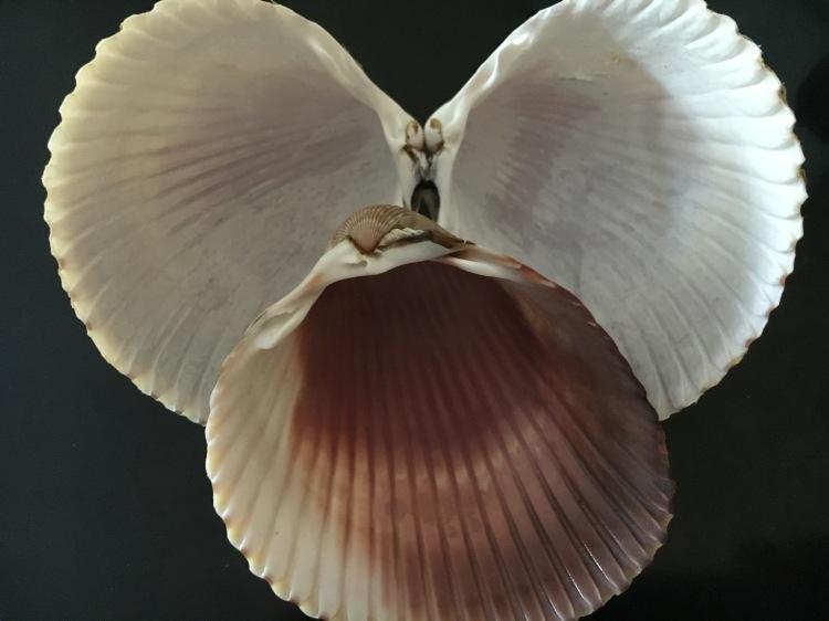 Atlantic Giant cockle shells
