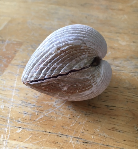 heart cockle shell