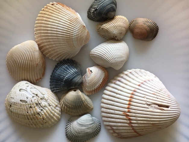 cockle shells and arks