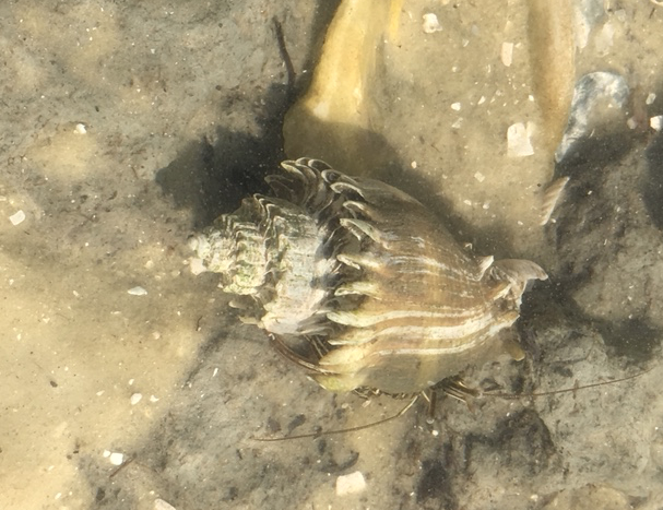 crown conch shell
