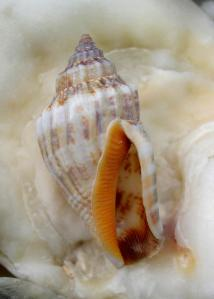 seashell orange inside