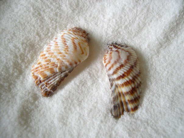 Turkey wing shells