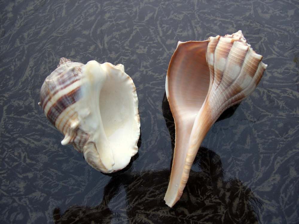 Lightning Whelk: The Left-Handed Seashell (1/2)