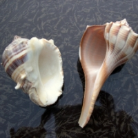 Lighting Whelk: The Left-Handed Seashell