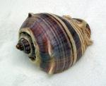florida seashell