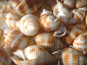 Common Nutmeg Seashells