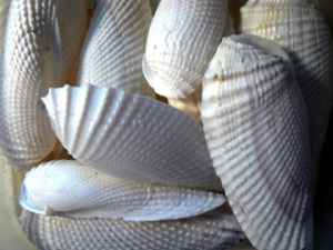 Angel wing shells