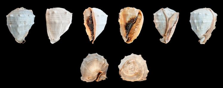 Helmet seashells