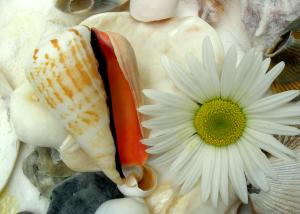 seashell and daisy