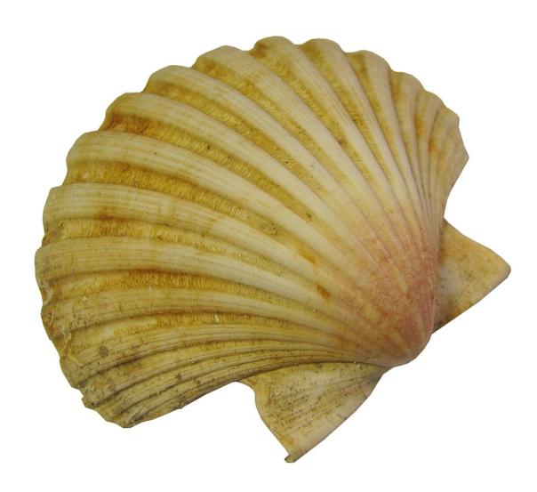 yellow scallop shell