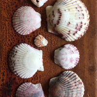Top Rare Seashell Finds in Florida