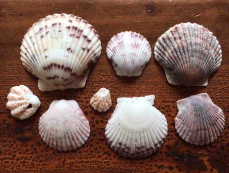 Types of scallop shells