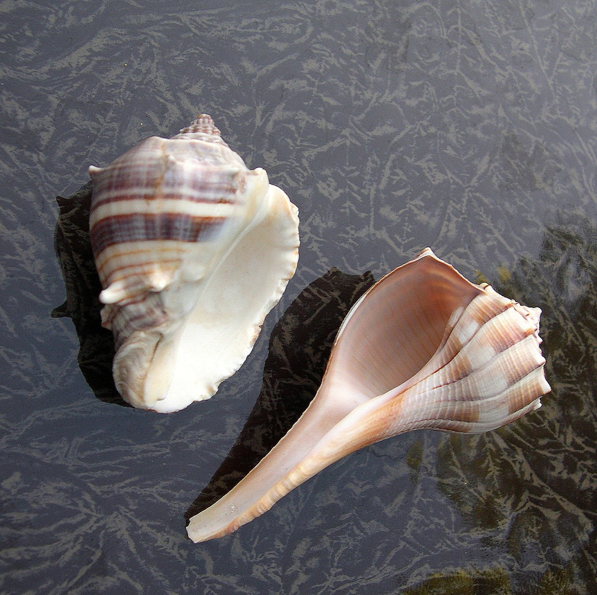 The Left-Handed Seashell is Florida's Lightning Whelk