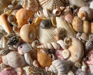 picture of tropical seashells collection