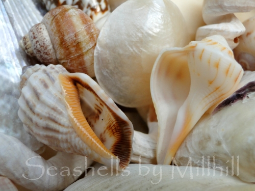 two seashells with openings showing