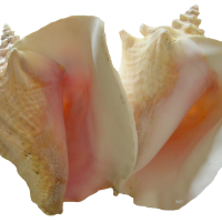 Queen -or Pink- Conch Coloring Page