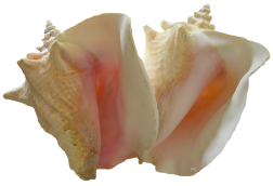 queen conch shells