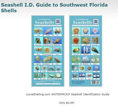 seashell identification chart