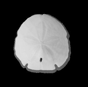 white sand dollar