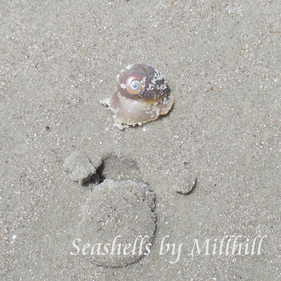 Shells i found on new smyrna beach seashells by millhill sharks eye seashell on the beach in florida nvjuhfo Gallery