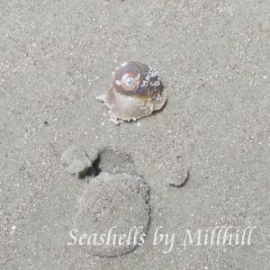 sharks eye seashell on the beach in florida