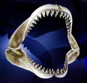 sharks teeth mouth skeleton