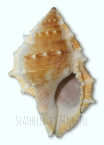 seashell bufonaria perelegans