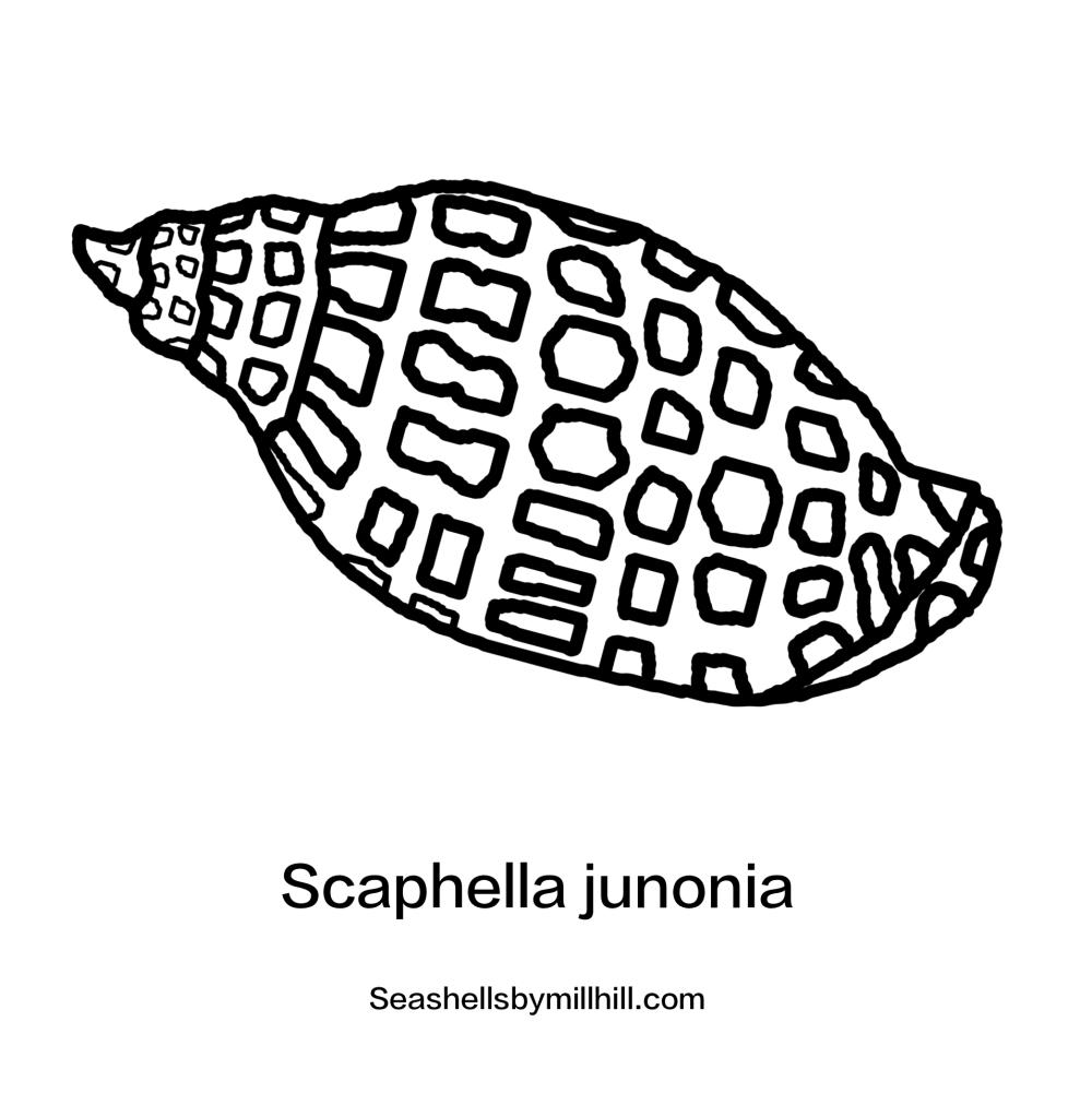 junonia shell coloring page