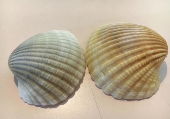 Incongruous ark shells