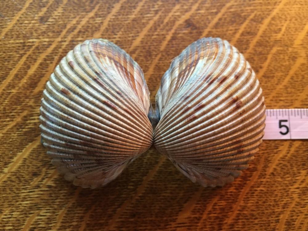 bivalve cockle shells