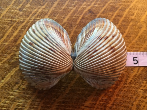 bivalve cockle shells