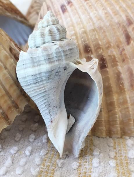 crown conch seashell