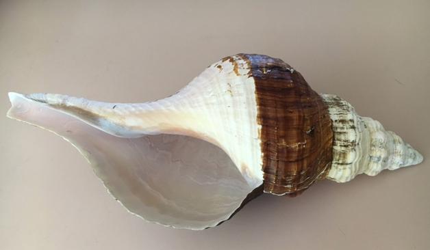 horse conch aperture