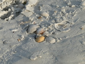 cleaning seashells