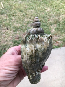 large crown conch